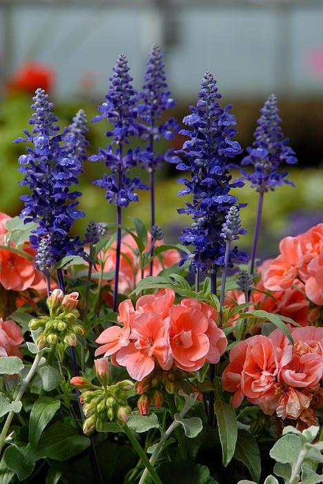 light coral Geraniums with victoria blue salvias....