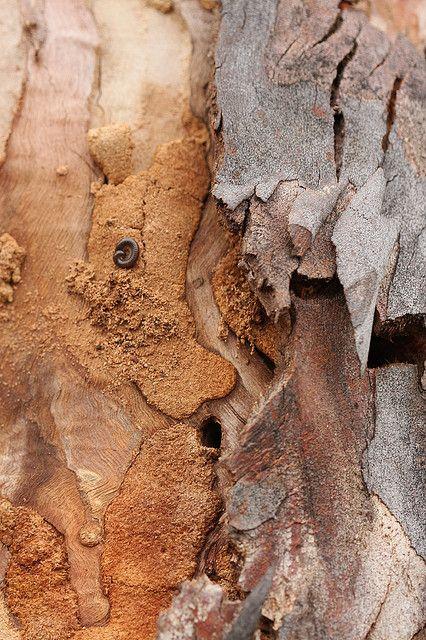 Eucalyptus bark5 by kasia-aus, via Flickr