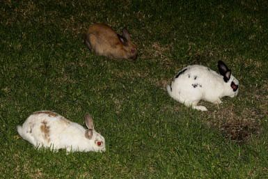 Dealing With Australia's Massive Feral Rabbit Problem: Rabbits eat the grass at Dawes Point Park on April 1, 2010 in Sydney, Australia.  Feral rabbits are a serious pest in Australia that cause millions of dollars of damage to the natural environment each year.