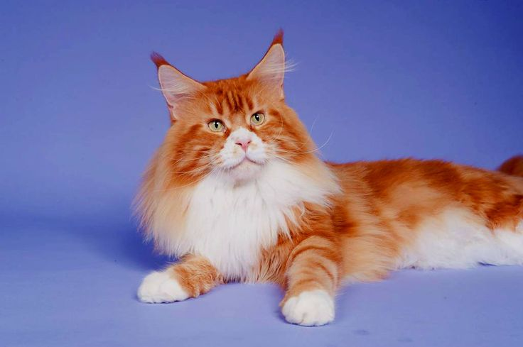 Maine Coon, Red tabby blotched & white (d 09 22). Big Giant's Resorts Grand Duke