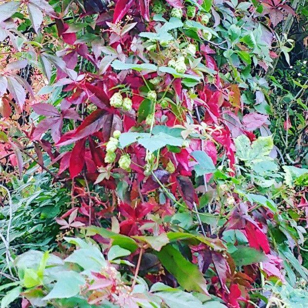 Hop bush