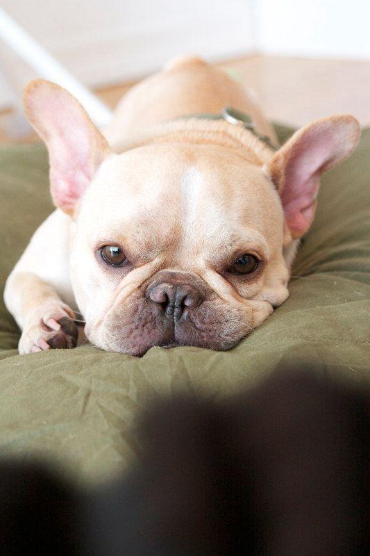 ##french bulldog  Like, Pin and Share :]