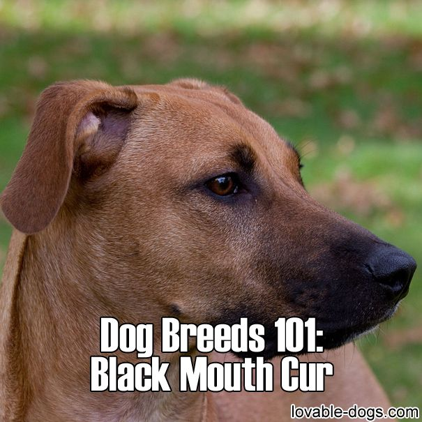 Dog Breeds 101 – Black Mouth Cur	►►	http://lovable-dogs.com/dog-breeds-101-black-mouth-cur/?i=p
