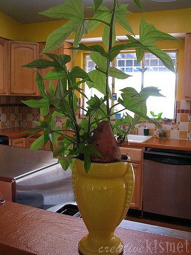 29 Best Sweet Potato Plants Images On Pinterest Sweet
