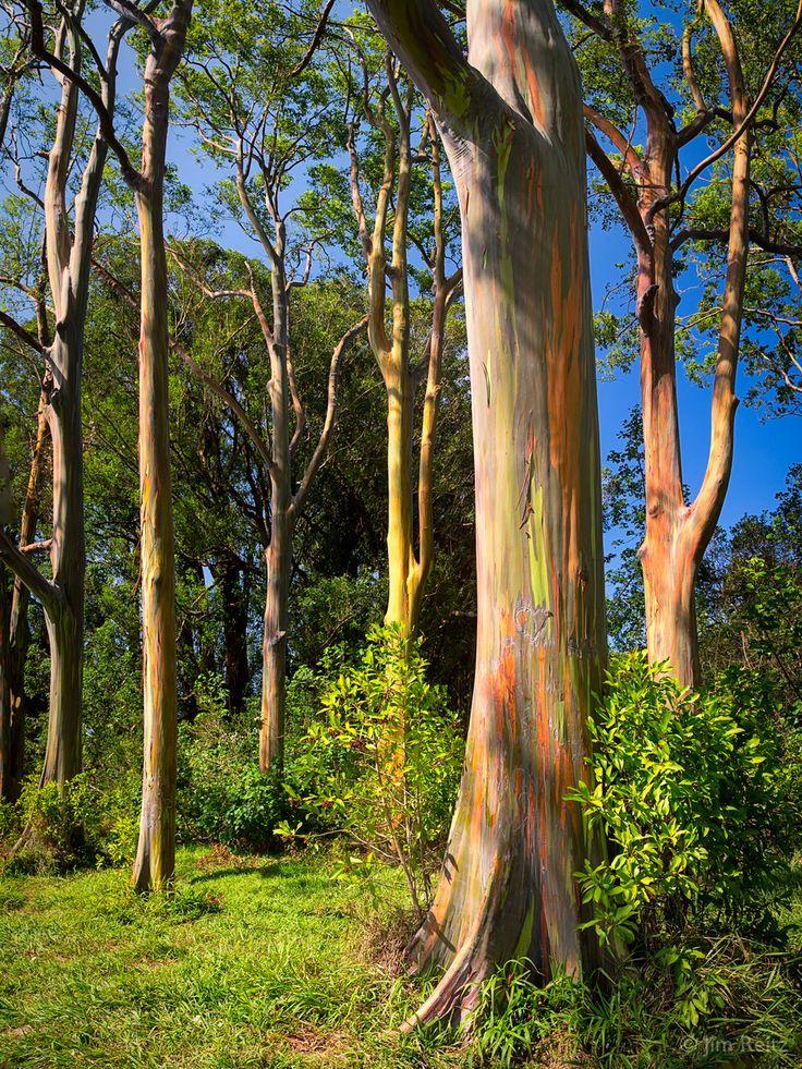 Rainbow Eucalyptus trees with their brilliant multi-hued bark - on the island of Maui, near the town of Ha'iku.