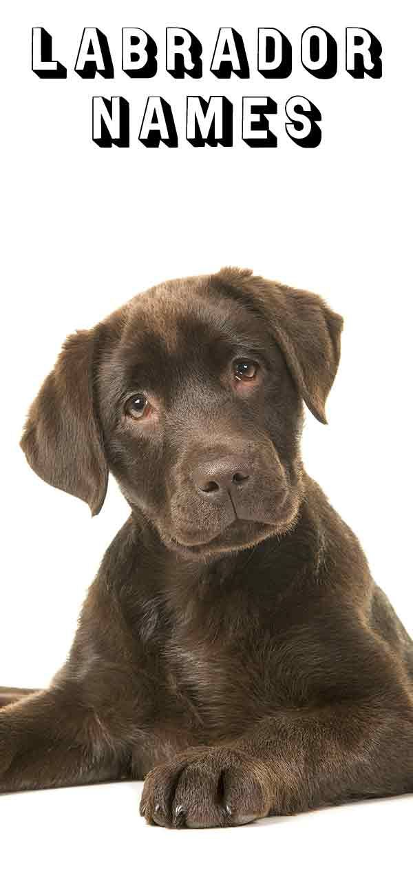 Black And Chocolate Lab Names