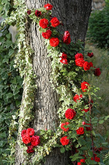 Climbing roses on a tree!  Why haven't I thought of this???