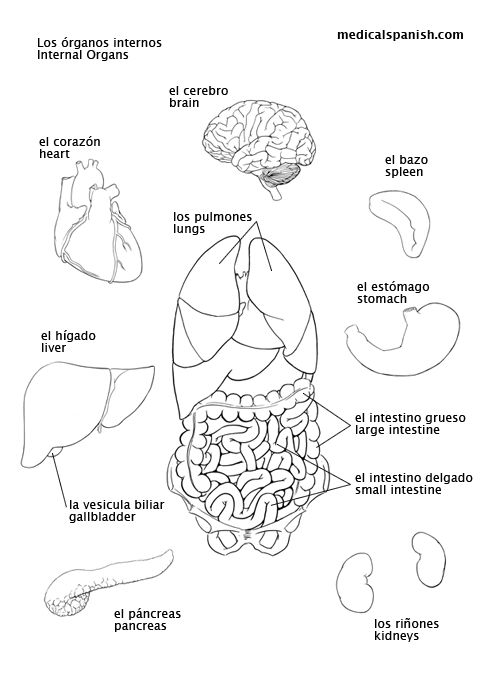 Medical Spanish for occupational therapy - printable pdf English/Spanish: internal-organs