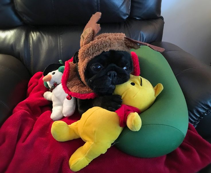 Rudolph the pug-nosed reindeer enjoys a quiet moment with his Pooh Bear