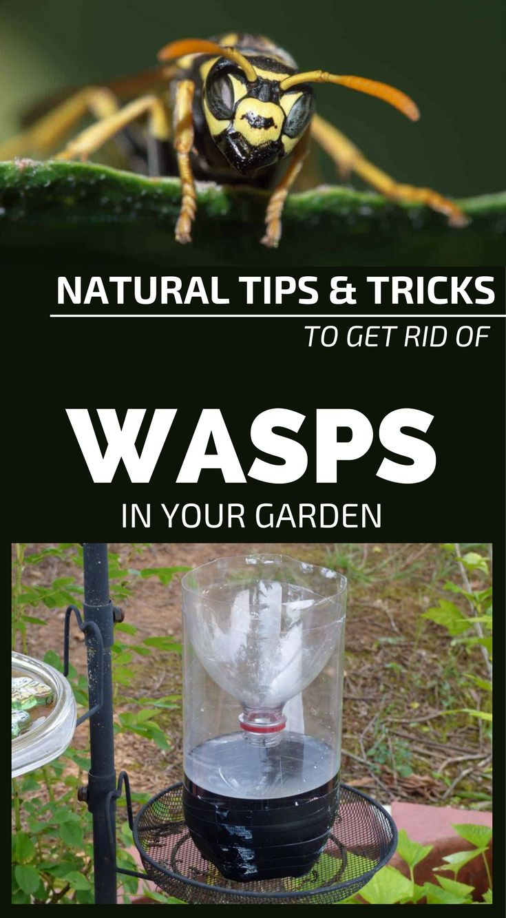 best 25 get rid of wasps ideas on pinterest yellow jacket wasp
