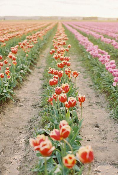 Színpompás tulipánföld
