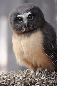Northern Saw-whet Owl chick...Won't look like an adult until it molts the juvenile plumage (as in most owls)