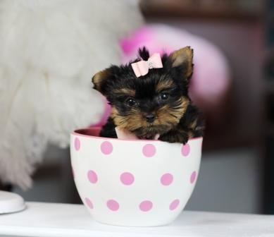 ♥♥♥ Jackie the Pocketbook Yorkie ♥♥♥ Find Your New Baby Today! 954-353-7864 www.teacuppuppiesstore.com  #yorkie #yorkshireterrier #teacup #micro #pocketbook #teacuppuppies #teacuppuppiesstore #tiny #teacupyorkie #teacupyorkshireterrier #small #little #florida #miami #fortlauderdale #bocaraton #westpalmbeach #southflorida #soflo #miamibeach #cute #adorable #puppy #puppyforsale #puppiesforsale #puppylove #love #dog