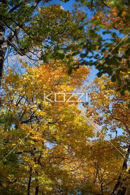 autumn trees. - Low angle view of autumn trees.