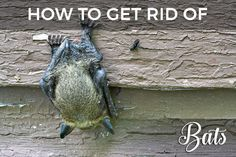 Bats In The Attic Or House? The Ultimate Guide On How To Get Rid Of Bats: Removal, Exclusion & Extermination Tips For The Homeowner With Bat Problems!