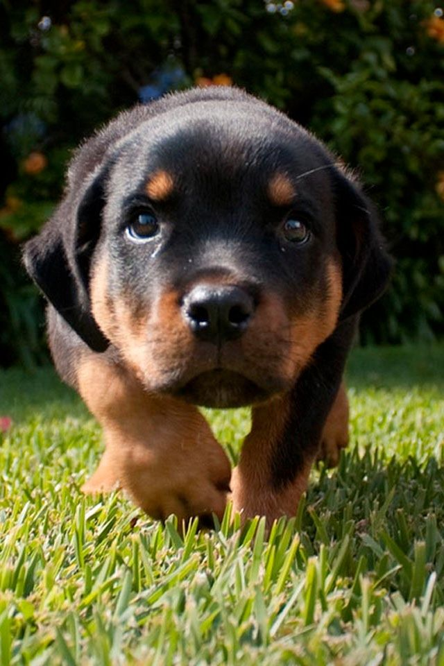 Baby Rottweiler | Animals | Pinterest | Rottweilers and Babies