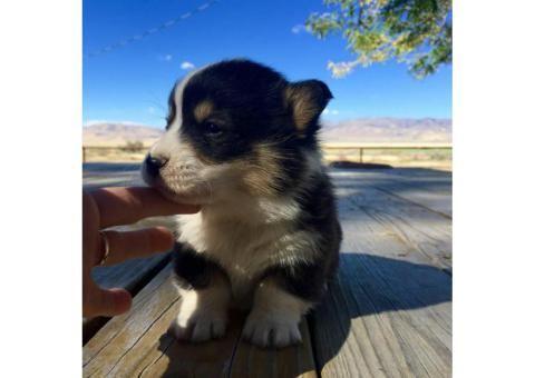 corgi puppies for sale