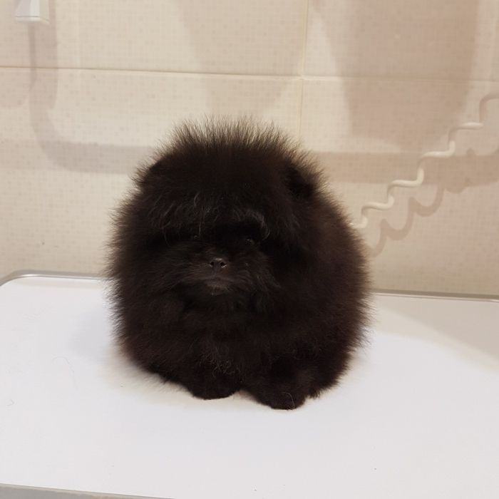 Pomeranian Bold And Inquisitive Cute Animal Pictures Cute