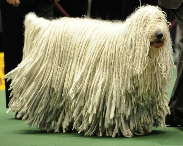 The Komondor | 10 Big Fluffy Dog Breeds That Are Absolutely Beautiful  See more fluffy dogs here: http://dogbreedsjournal.com/fluffy-dog-breeds/