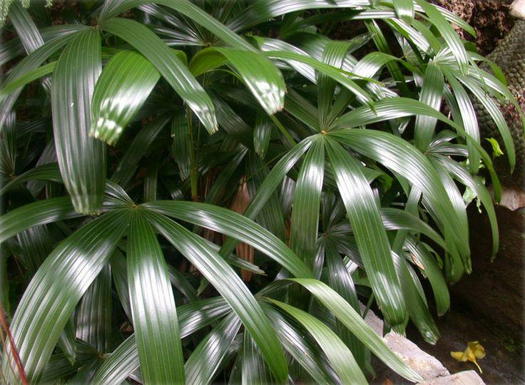 #7 - Broadleaf Lady Palm (Rhapis excelsa) - 10 Houseplants That Clean the Air in…