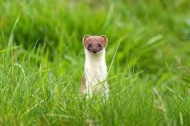 NOT a  NZ native creature another introduced PEST brought in to control the introduced PEST  rabbits when their population exploded because they have no natural predators  here .Guess what surprise surprise these weasels?stoats ?? BOTH anyway  prefer to hunt our birds , eat their chicks and eggs