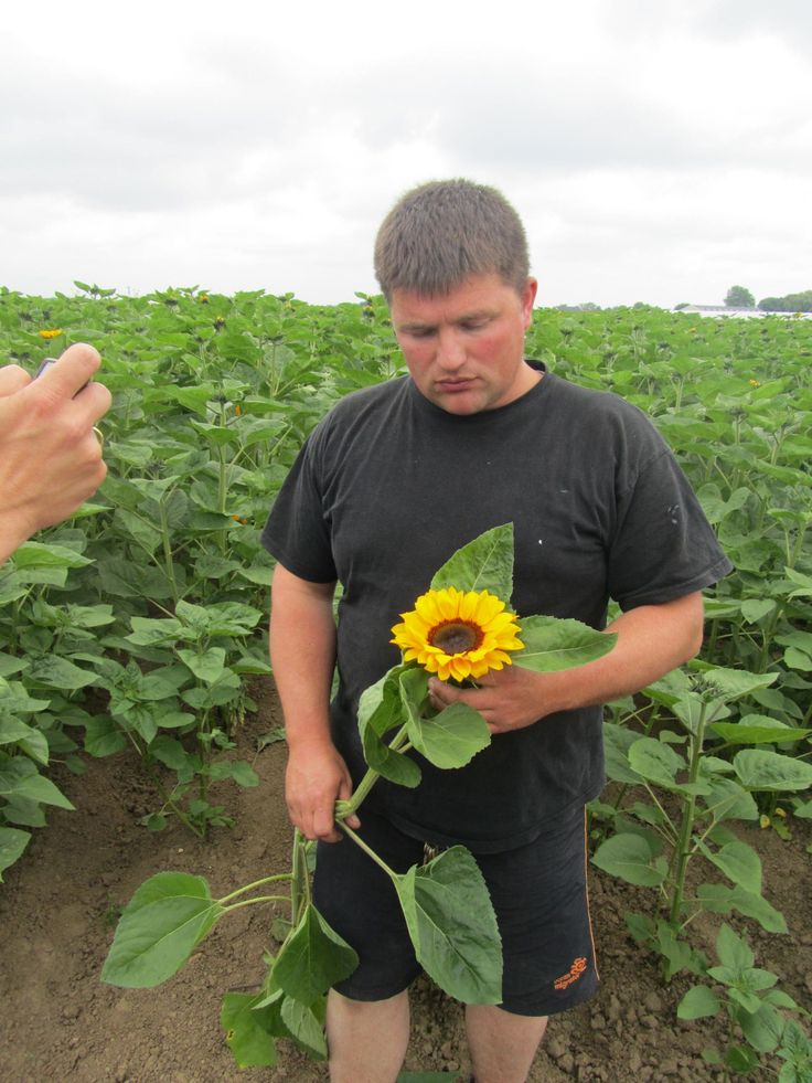 Sunflower grower in Holland  bloomycreations.nl