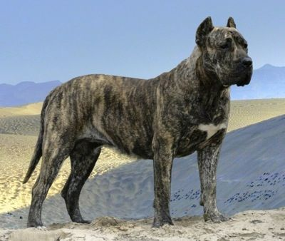Tobatacaya de Rey Gladiador the Presa Canario is standing on a sand dune with a sandy terrain behind it