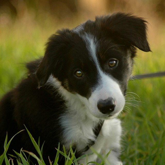 Merle Puppies For Sale Border Collie Breeder In New