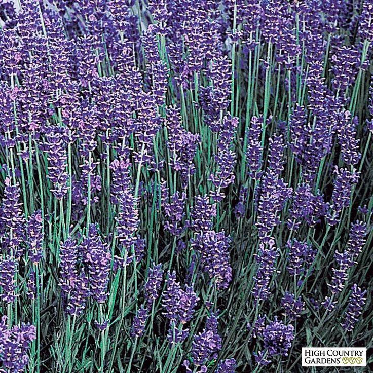 Blue and Purple Lavandula angustifolia Royal Velvet, Lavandula angustifolia Royal Velvet, Royal Velvet English Lavender