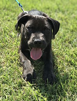 Boxer/Labrador Retriever Mix Puppy for adoption in Chicago, Illinois - Mustang
