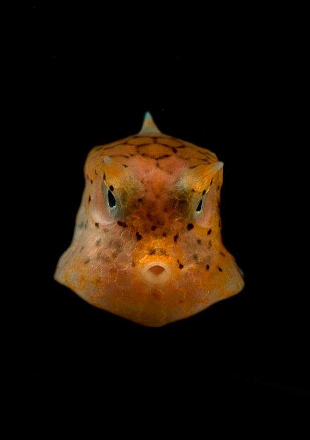 Poisson-coffre de la mer de CélèbesAvec sa forme rectangulaire et ses deux excroissances au niveau du front qui ressemblent à des cornes, ce poisson osseux a une allure bien singulière. Les Ostraciidae, ou poissons-coffres, peuplent les océans Indien et Pacifique. Spécificité de cette espèce: un mécanisme chimique de défense qui consiste à libérer par la peau une toxine qui affecte les organismes alentour.