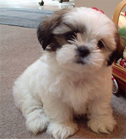 Shih-tzu little puppy..............  Looks very much like my little rescue, Pippin.  Wish I had known him when he was this little, but then he wouldn't have been a rescue.