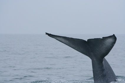 What Kind of Whales Eat Krill?