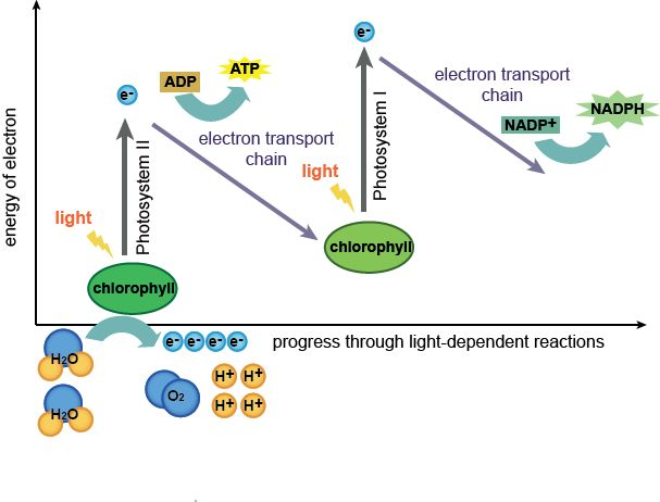 Biology The Light-Dependent and Light-Independent Reactions - Shmoop Biology