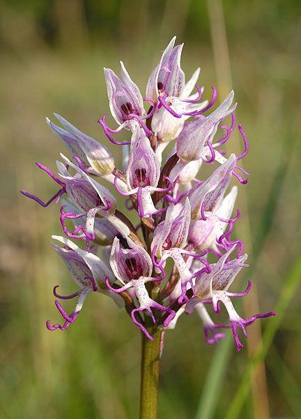FLOREALPES : Orchis simia / Orchis singe / Orchidaceae / Fiche détaillée Fleurs des Hautes-Alpes