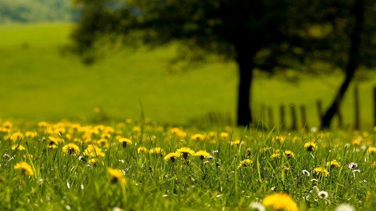 sun flowers dandelion greens wallpaper download free high  definition