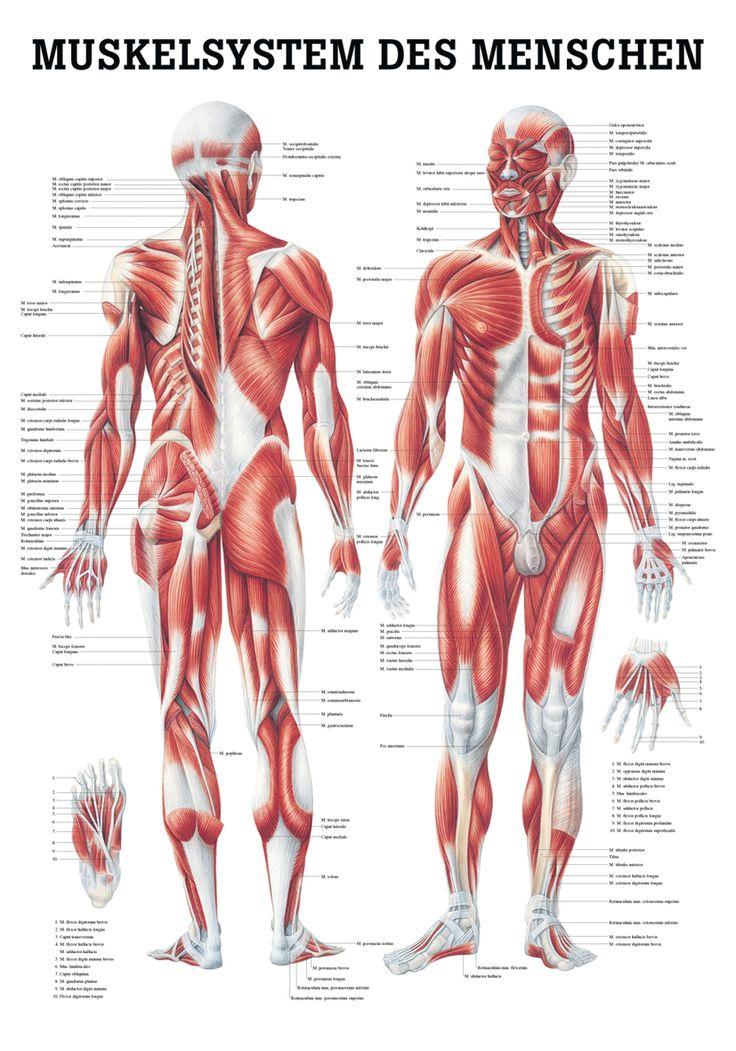 Das Muskelsystem - Rüdiger Anatomie