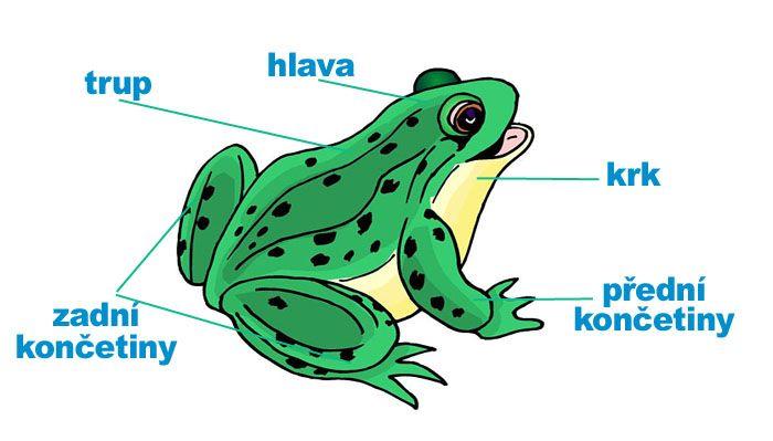 stavba žáby