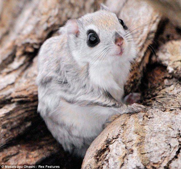 gahhh soooo cuuute  Siberian Flying Squirrels - 03