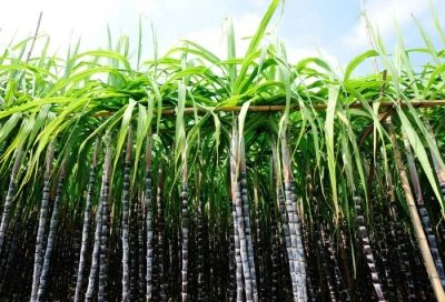 Kaduna Now Generate Bio-ethanol Fuel from Sugarcane | Agriculture, Livestock Farming in Nigeria, Agric Blog - Greenhealthyfarm