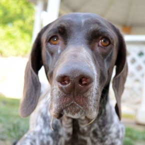 Lucky | CA GSP Rescue, 4yr old male.  Has lived with other dogs.