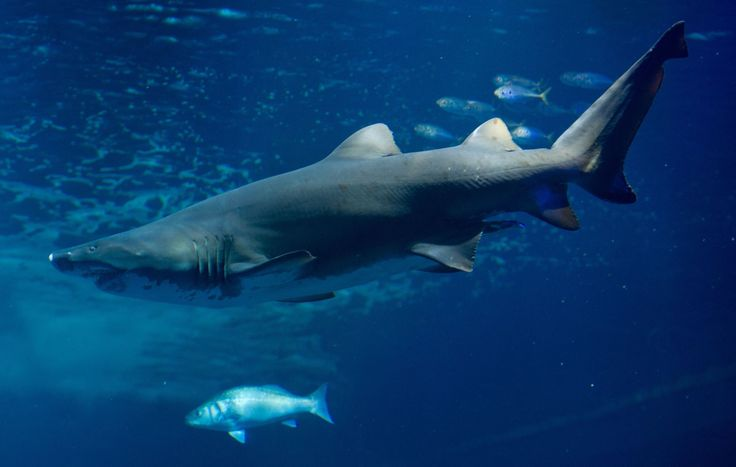 """""""We are using nature's gifts as if we had more than just one Earth at our disposal,"""" WWF Director General Marco Lambertini said in the foreword to the biennial publication.  """"By taking more from our ecosystems and natural processes than can be replenished, we are jeopardising our very future.""""  A sand tiger shark swims in an aquarium at the aqua zoo in Stralsund, Germany on 14 February 2013 - Provided by AFP"""