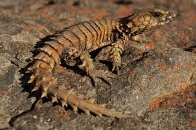 Image result for armadillo girdled lizard photo