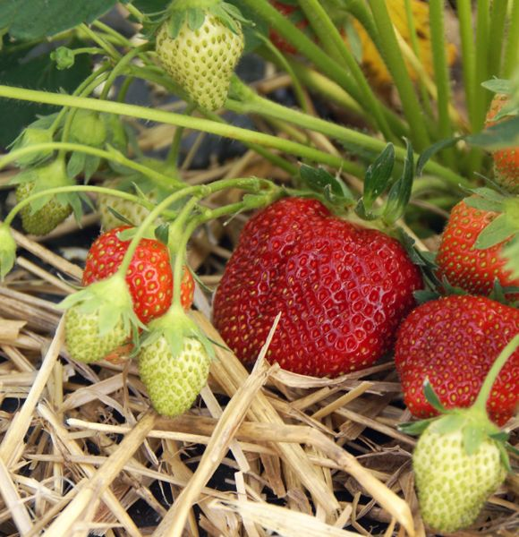 Growing Strawberries - I have always had excellent results with strawberries BUT this has some good info.