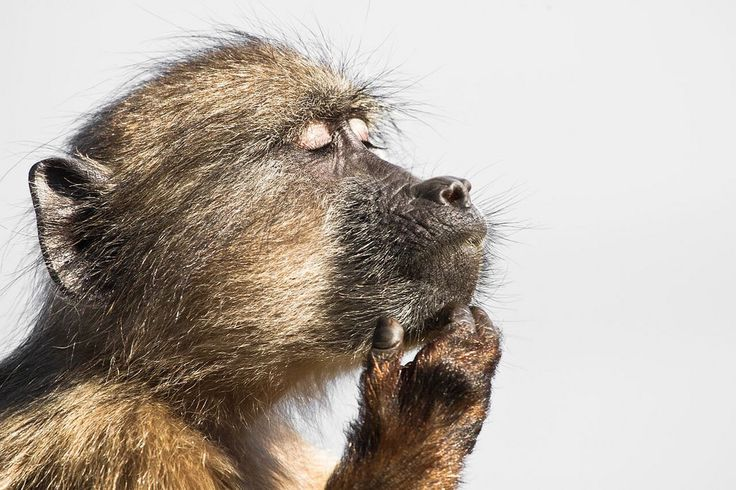 A baboon gets lost in his thoughts, by Davide Gaglio, South Africa. Royal Society Publishing photography competition 2015.