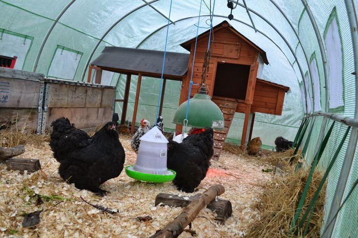Chickens in my polytunnel during winter. http://skillnadenstradgard.blogspot.se/2014/12/en-honshustunnel.html #gardening #trädgård #polytunnel #chicken