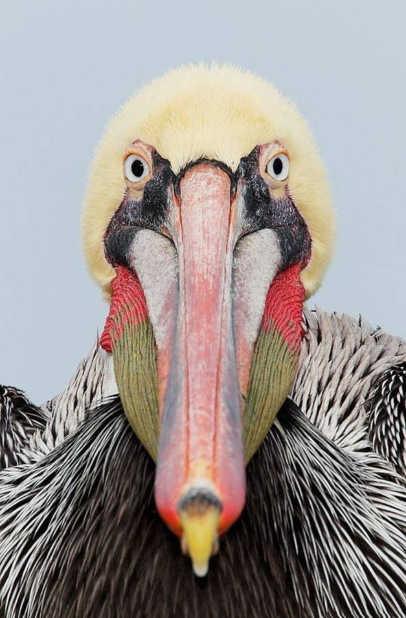 .......... BROWN PELICAN ...... Pelicanus occidentalis ..... Coastal areas of the Americas. West: British Columbia to S Central Chile, Galapagos Islands; East: Nova Scotia to the Amazon River.