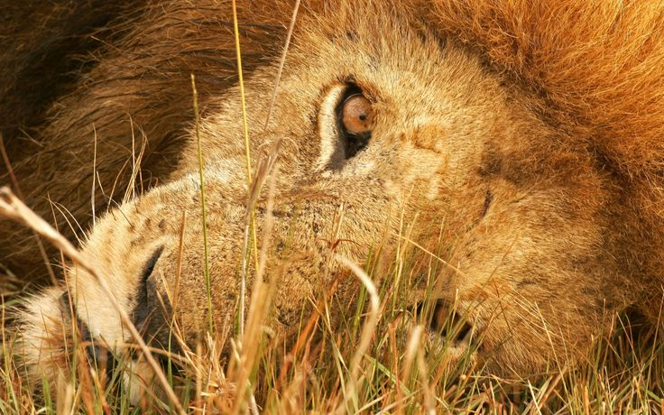 the eye of lion wide