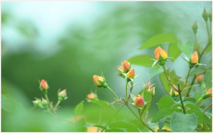 Orange Rose Buds Flower Field Wallpaper | orange rose buds flower field wallpaper 1080p, orange rose buds flower field wallpaper desktop, orange rose buds flower field wallpaper hd, orange rose buds flower field wallpaper iphone