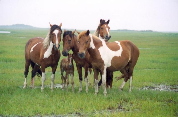 Band of horses in the saltmarsh at Assateague Island National Seashore.
